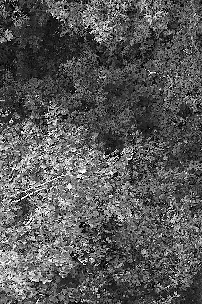A thick forest canopy seen looking straight down, rendered in monochrome.