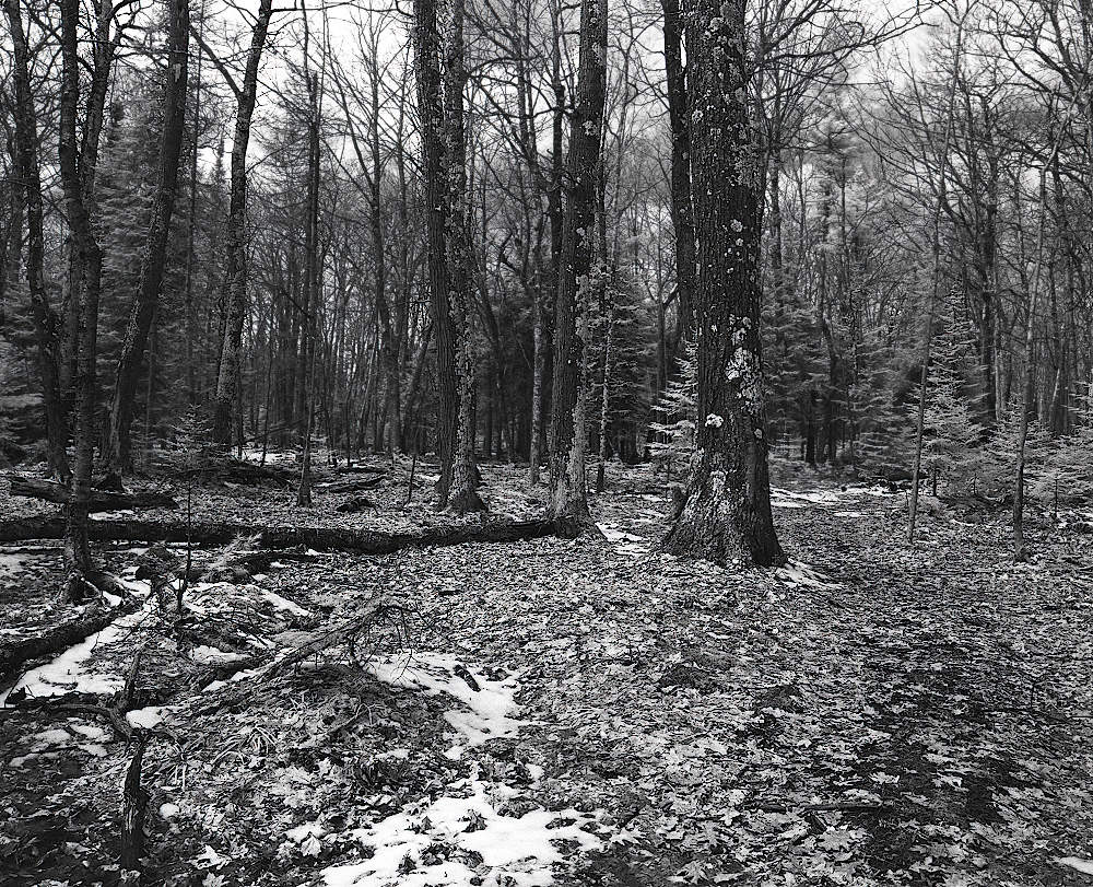 A monochrome shot of a winter forest with an undisturbed, leaf-strewn floor.