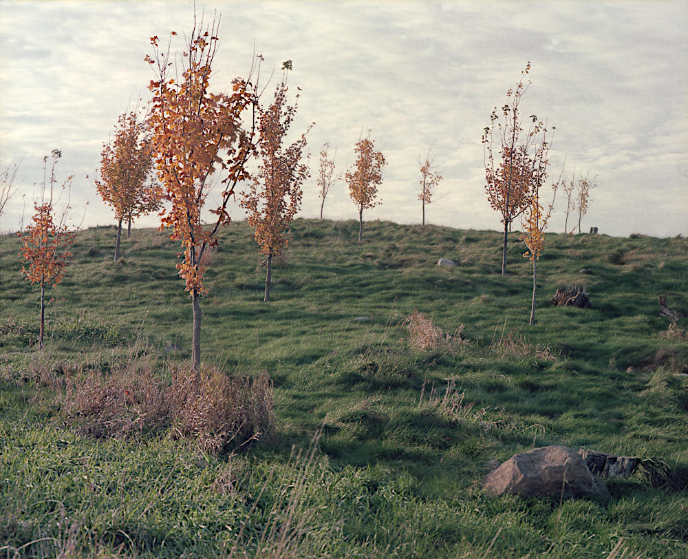 A group of vibrant orange saplings in early autumn.